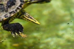 Waterschildpad in een vuile vijver in een stadspark, het wilde dierlijke leven stock afbeeldingen