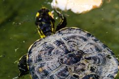 Waterschildpad in een vuile vijver in een stadspark, het wilde dierlijke leven royalty-vrije stock foto