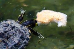 Waterschildpad in een vuile vijver in een stadspark, het wilde dierlijke leven royalty-vrije stock fotografie