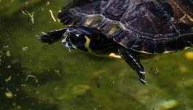 Waterschildpad in een vuile vijver in een stadspark, het wilde dierlijke leven stock fotografie