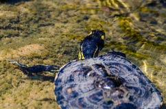 Waterschildpad in een vuile vijver in een stadspark, het wilde dierlijke leven royalty-vrije stock foto's