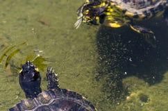 Waterschildpad in een vuile vijver in een stadspark, het wilde dierlijke leven royalty-vrije stock afbeelding