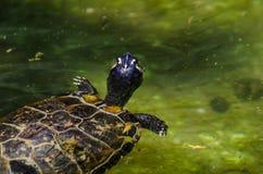 Waterschildpad in een vuile vijver in een stadspark, het wilde dierlijke leven royalty-vrije stock afbeeldingen