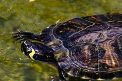Waterschildpad in een vuile vijver in een stadspark, het wilde dierlijke leven stock foto