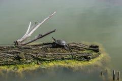 Waterschildpad op login het meer Royalty-vrije Stock Fotografie