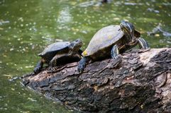 Waterschildpadden op het hout voor het zonnebaden Stock Fotografie