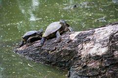Waterschildpadden op het hout voor het zonnebaden Stock Foto