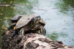Waterschildpadden op het hout voor het zonnebaden Stock Afbeeldingen
