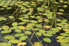 Watersheild (brasenia schreberi). Water shield (brasenia schreberi) pads and floating Burreed, aquatic plants on a lake Royalty Free Stock Images