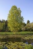 waterside тополя Стоковое Изображение