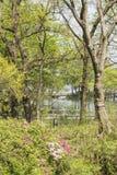 Waterside azalea Royalty Free Stock Photo