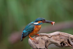 Waterside blue bird, Common Kingfisher Stock Images