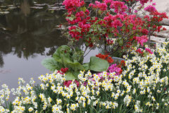 Waterside bougainvillea and narcissus Stock Photo