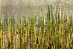Waterside with bulrush at a lake Royalty Free Stock Image
