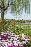 Waterside chrysanthemum and yellow primroses flowers Royalty Free Stock Photos