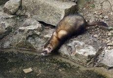 waterside ferret ambiance каменистый стоковое фото