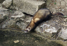 Waterside Ferret in stony ambiance Stock Photo