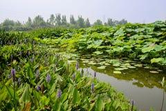 Waterside flowers of lotus pond in summer Stock Image
