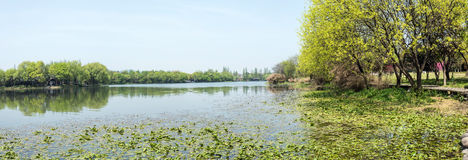 Waterside green trees and Lotus leaf royalty free stock photo