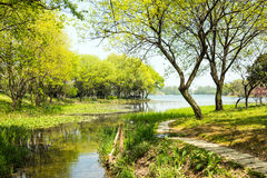 Waterside green trees and lotus leaf. This photo was taken in West Lake Cultural Landscape of Hangzhou, Zhejiang province, china stock photography