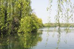 Waterside green willow Stock Image