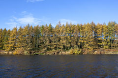 Waterside larch trees Royalty Free Stock Photo