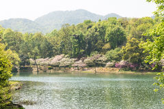 Waterside peach blossom royalty free stock photos