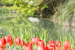 Waterside red tulips flowers Stock Photography