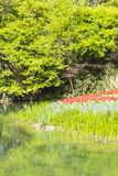 Waterside red tulips flowers Stock Images