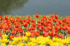 Waterside red and yellow tulips flowers Stock Photos
