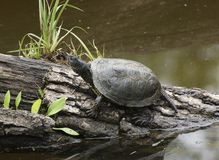 Waterside scenery with European pond terrapin Royalty Free Stock Photo