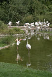 Waterside scenery and flamingoes Stock Image