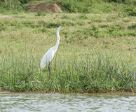 Waterside scenery with little Egret Stock Photo