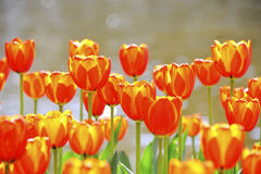 Waterside tulips Royalty Free Stock Images