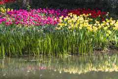 Waterside tulips flowers Stock Image