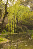 Waterside willow Stock Images