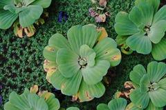 Watersla; mooi aquatisch onkruid stock fotografie