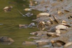 Waterslang op de rivier stock foto's