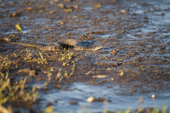 Watersnake attentif Images libres de droits