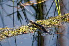Watersnake dans le marais d'Okefenokee Photographie stock libre de droits