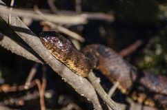 Watersnake do sul no pântano de Okefenokee Fotografia de Stock