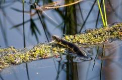 Watersnake no pântano de Okefenokee Fotografia de Stock Royalty Free