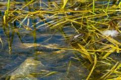 Watersnake septentrional foto de archivo libre de regalías