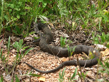 watersnake sipedon nerodia северное стоковые изображения
