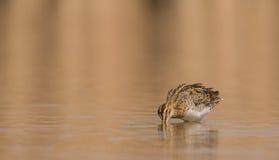 Watersnip in ondiepe wateren Stock Foto's