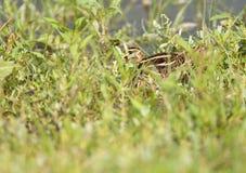 Watersnip, Snipe commun, gallinago de Gallinago image libre de droits
