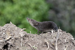 Waterspitsmuis, Neomys fodiens Royalty-vrije Stock Foto