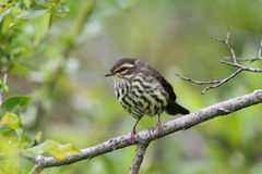 Waterthrush do norte Foto de Stock