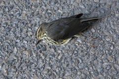 Waterthrush septentrional muerto foto de archivo libre de regalías