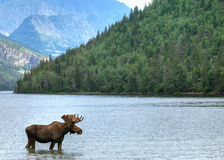 Waterton lake and moose. Moose stood in Waterton lake with forest and mountains in background, Alberta, Canada royalty free stock images
